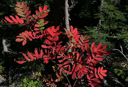 Like vine maple, mountain ash fall colors range from light yellow to brilliant red, based on sun exposure