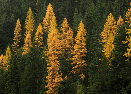 Whole mountainsides around Lookout Mountain light up with western larch turning in mid-to-late October