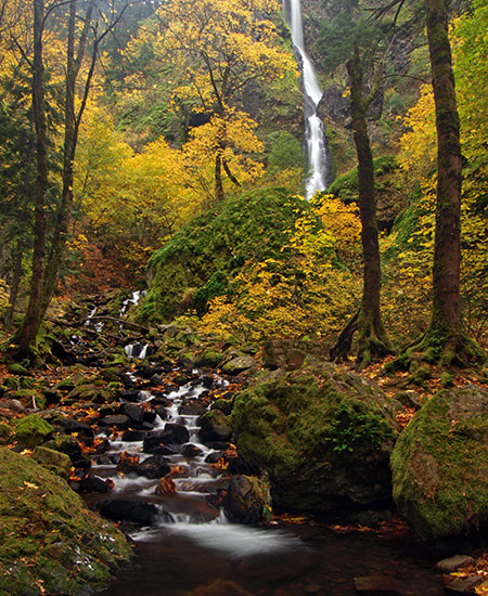 Bigleaf and vine maple put on a reliable show at Starvation Creek Falls in October