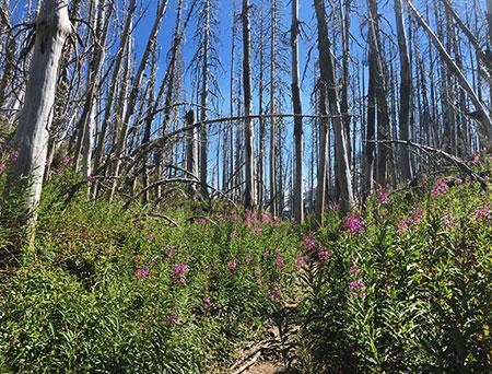 Fireweed15